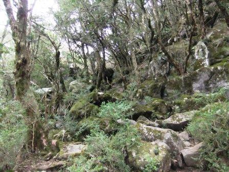 天然記念物のツゲの原生林