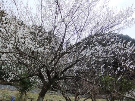 秋月の梅 満開です