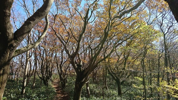 ミヤコザサとブナの美林