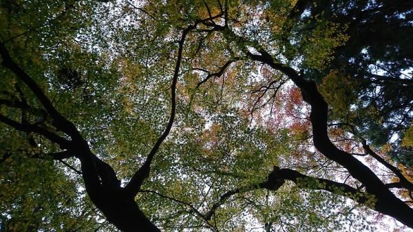 大きなイロハモミジの木