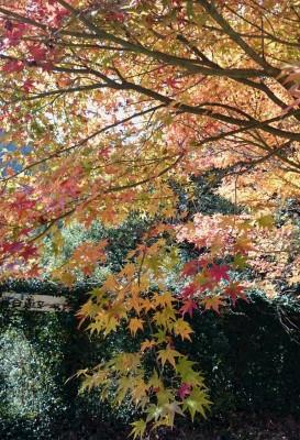 加茂神社横の紅葉